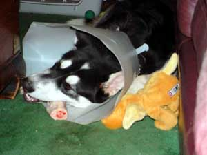 Sebastian - Conehead with bone